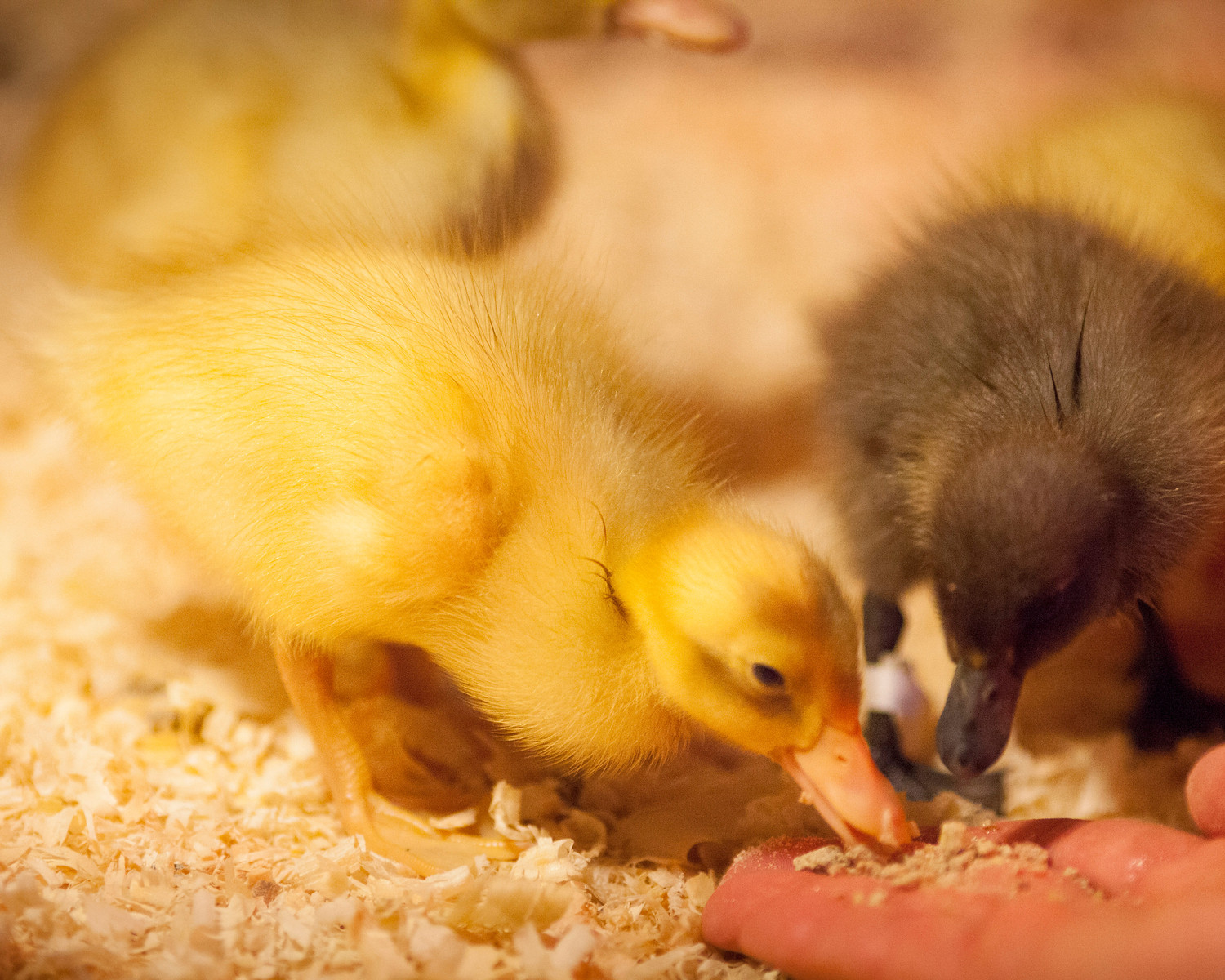 Donate  $15to feedour ducks for a week!