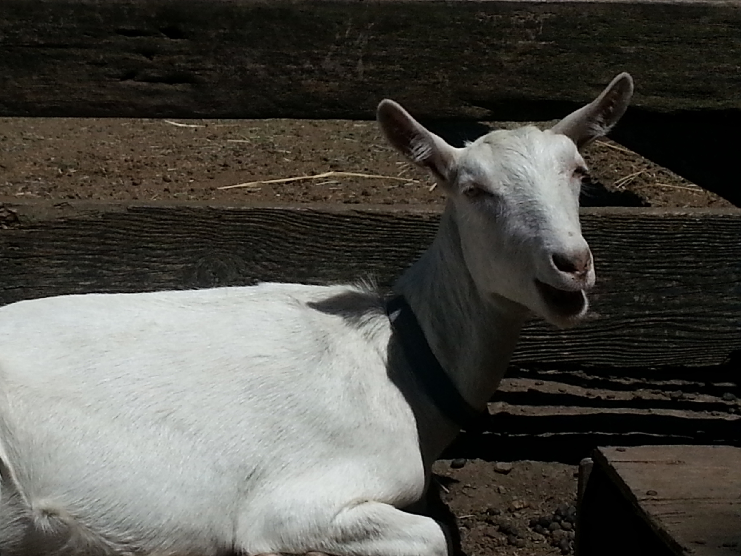 Donate today  to feed Grain and our other goats.