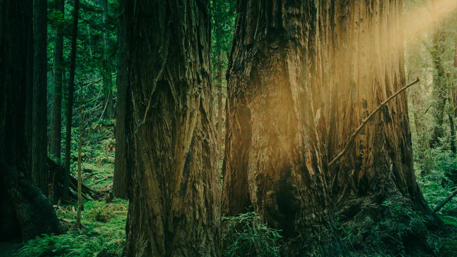 From one patch of green to the next, Muir Woods does outgrown them all.