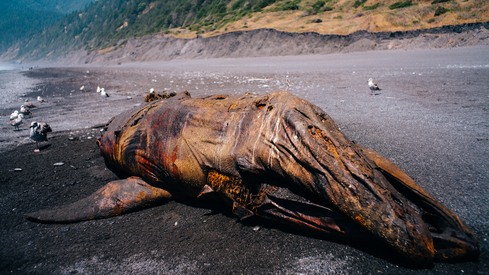 In all honesty though, we had a better go at it than this beached baby Pilot whale. (A smell one can chew).