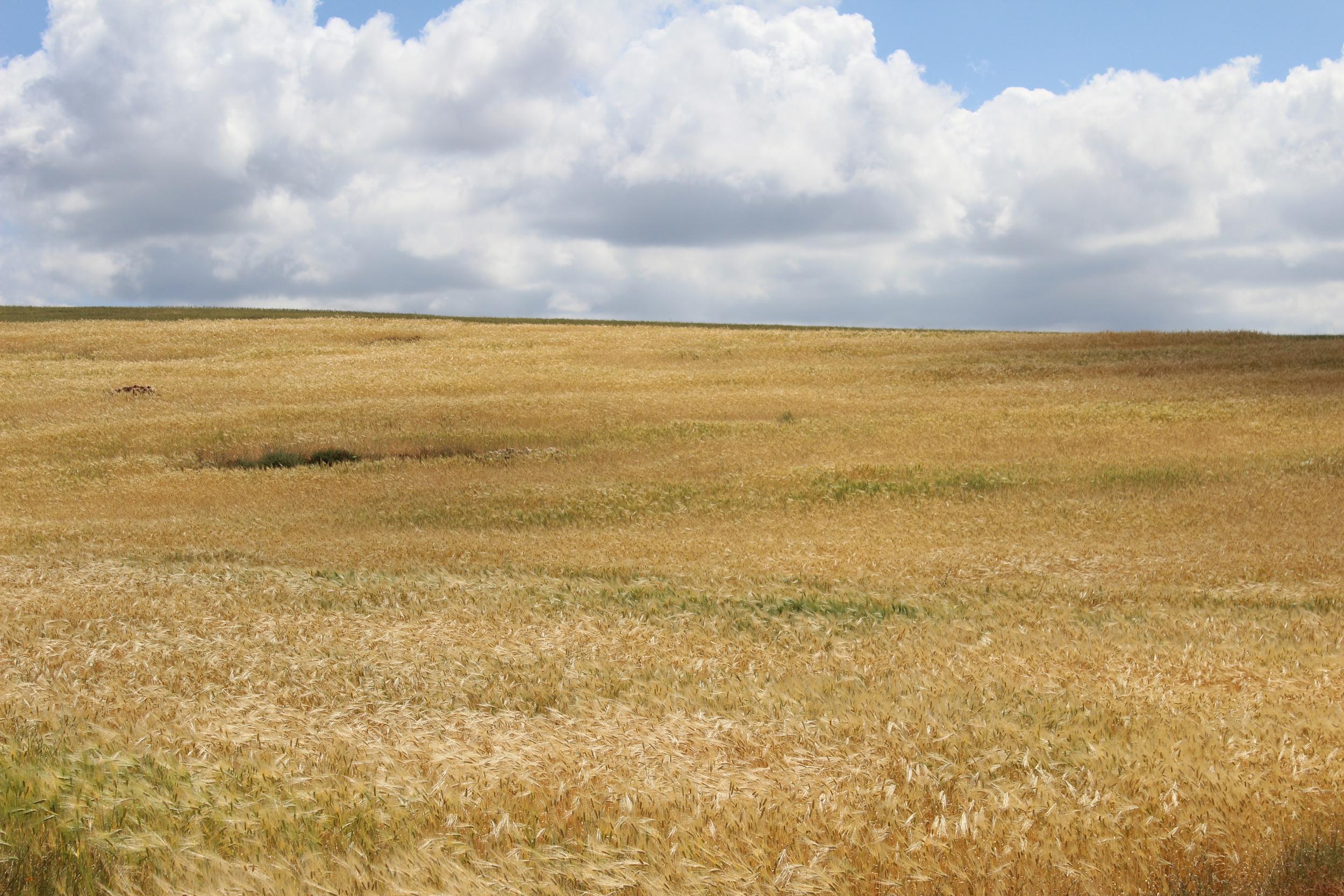 Moroccan Wheat Fields