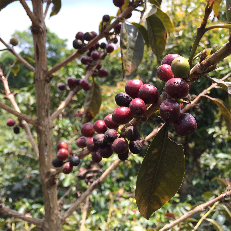 エルサルバドルのミラバイェ農園内に点在するブルボン・ショコラ。 明日から販売開始!