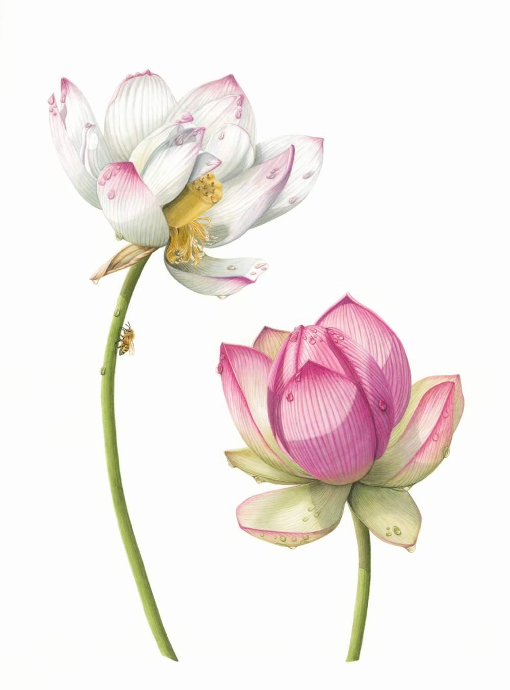 "Nelumbo nucifera var. unknown. - Lotus Flower   Apis mellifera - European Honey Bee  Watercolour  11"" x 16"""