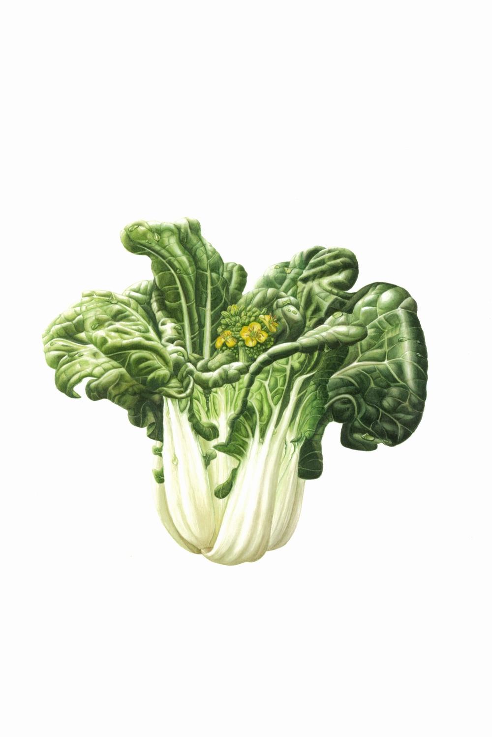 "Brassica rapa var. chinensis -Bok Choi   Watercolour  11"" x 16"""