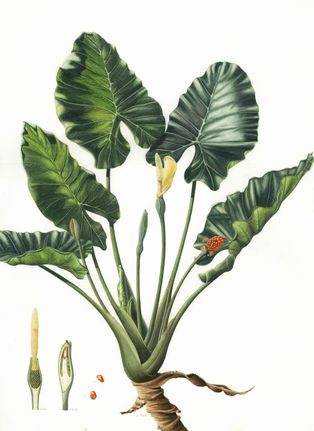 "Alocasia macrorrhizos - Upright Elephant Ear   Watercolour  11"" x 16"""