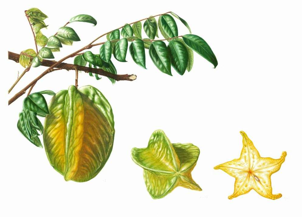 "Averrhoa carambola var. unknown - Star Fruit    Watercolour  16"" x 11"""