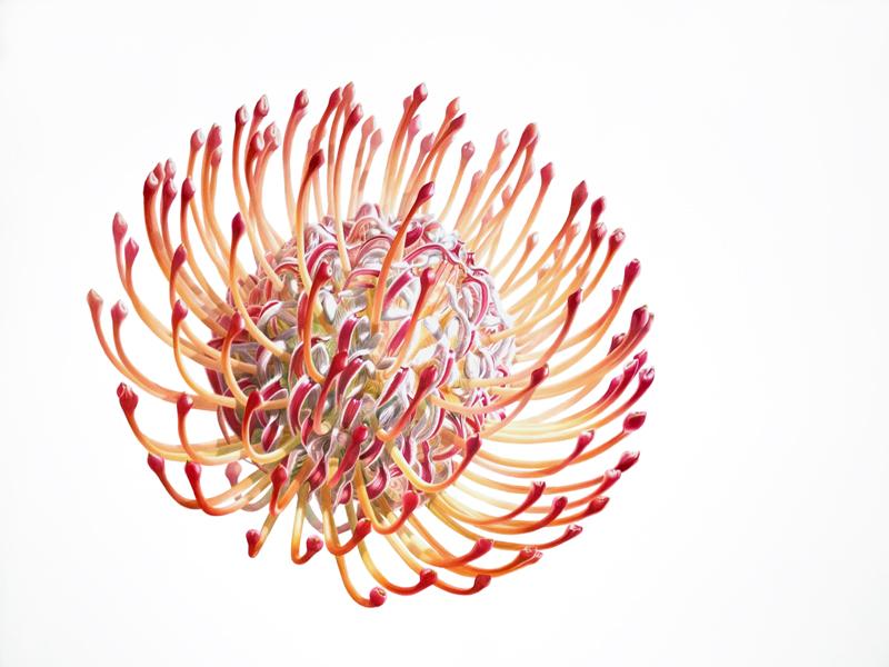 "Denise Ramsay, F I R E W O R K S .  Protea. Watercolor on paper, 46"" x 48"" - 117cm x 122cm unframed."