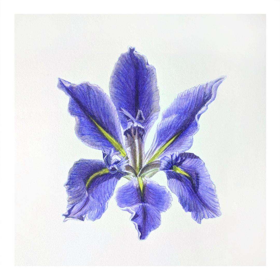 Blue Iris -sold