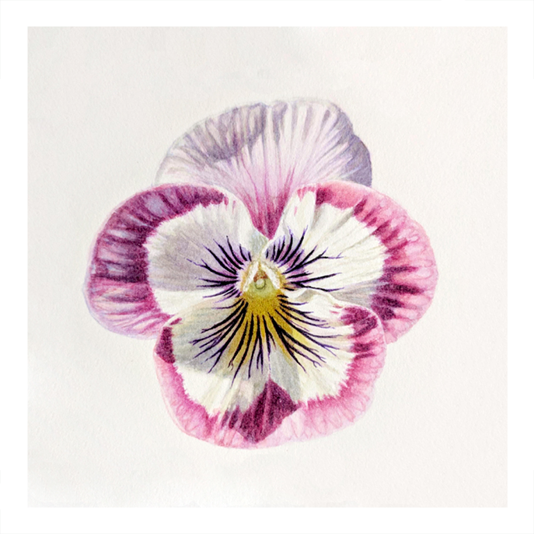 Purple Pansy -sold