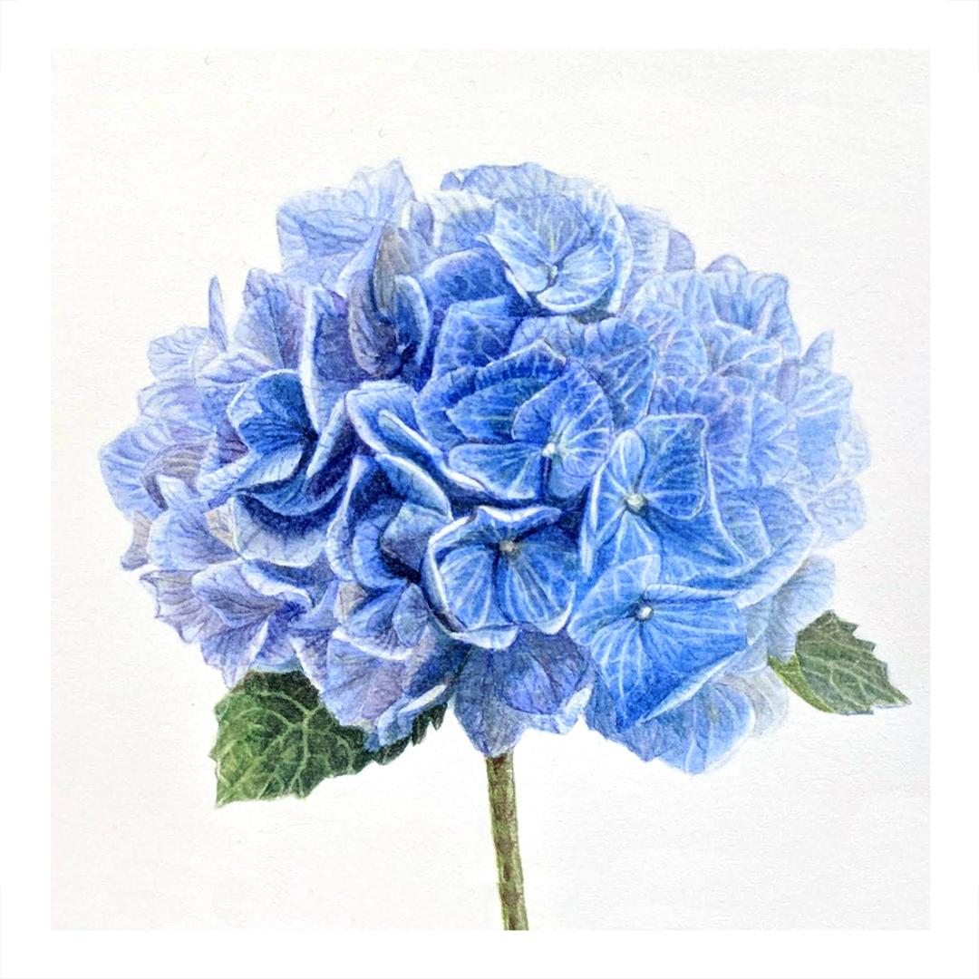 Blue Hydrangea -sold