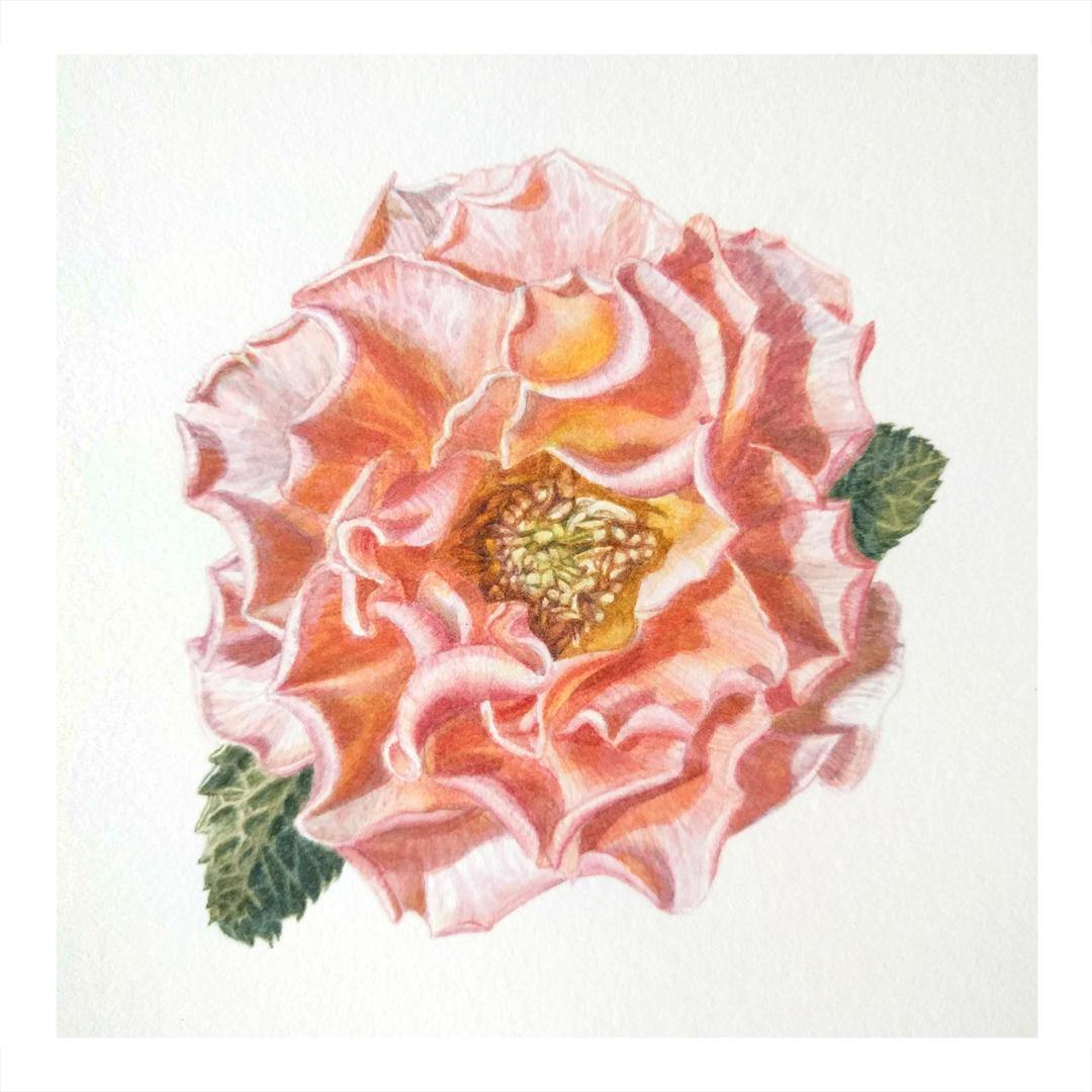 Peach Rose -sold