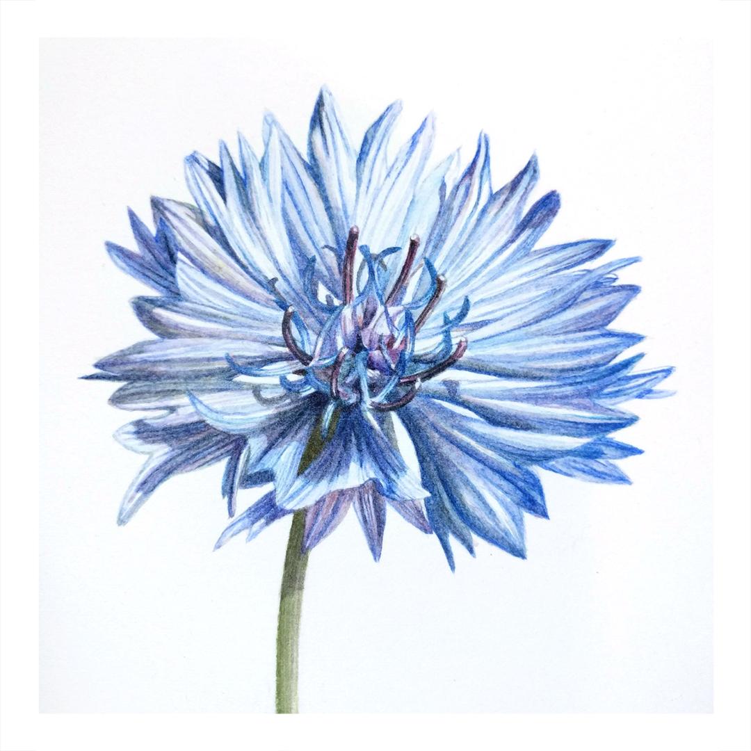 Blue Cornflower -$225