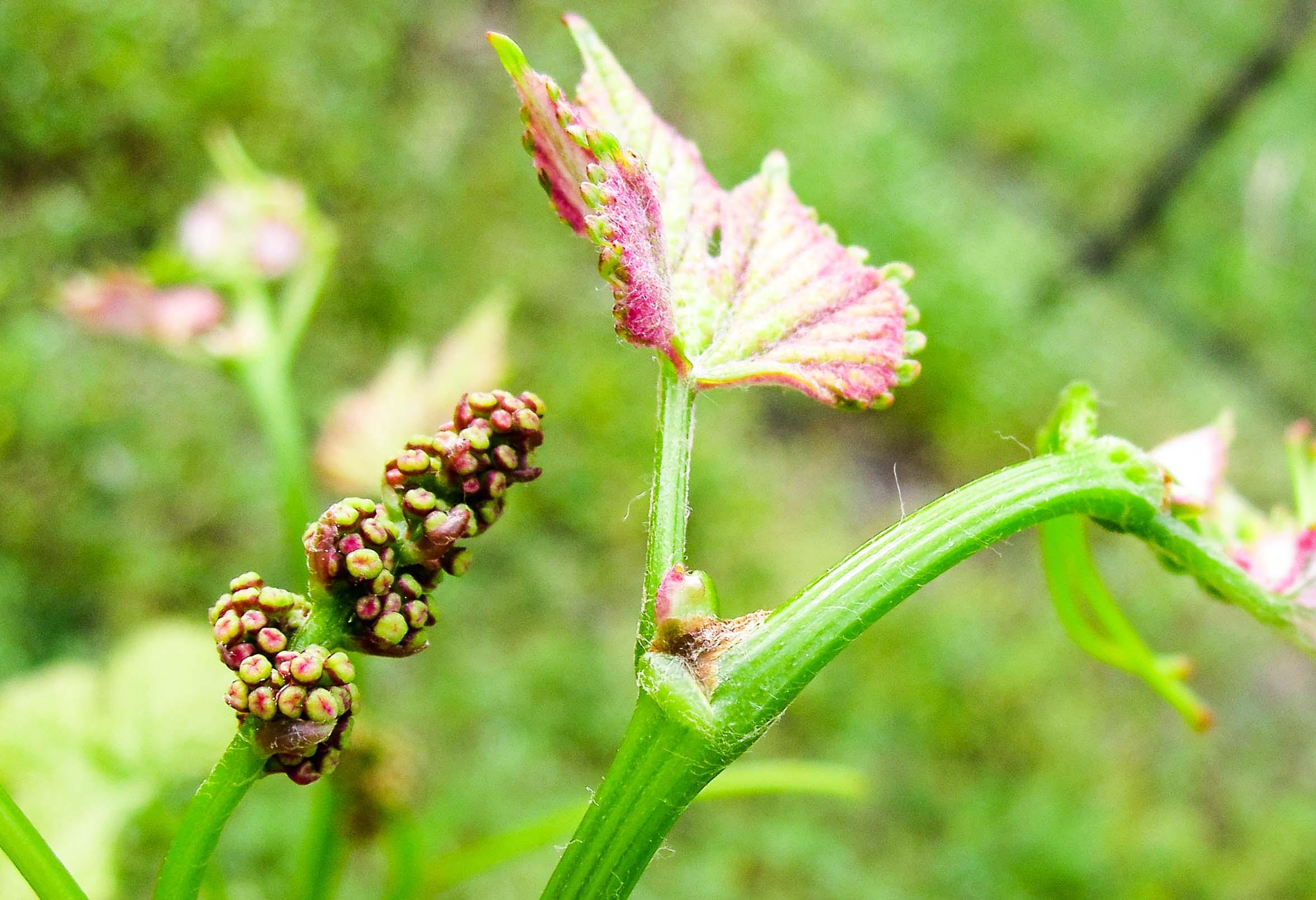 Grape Buds