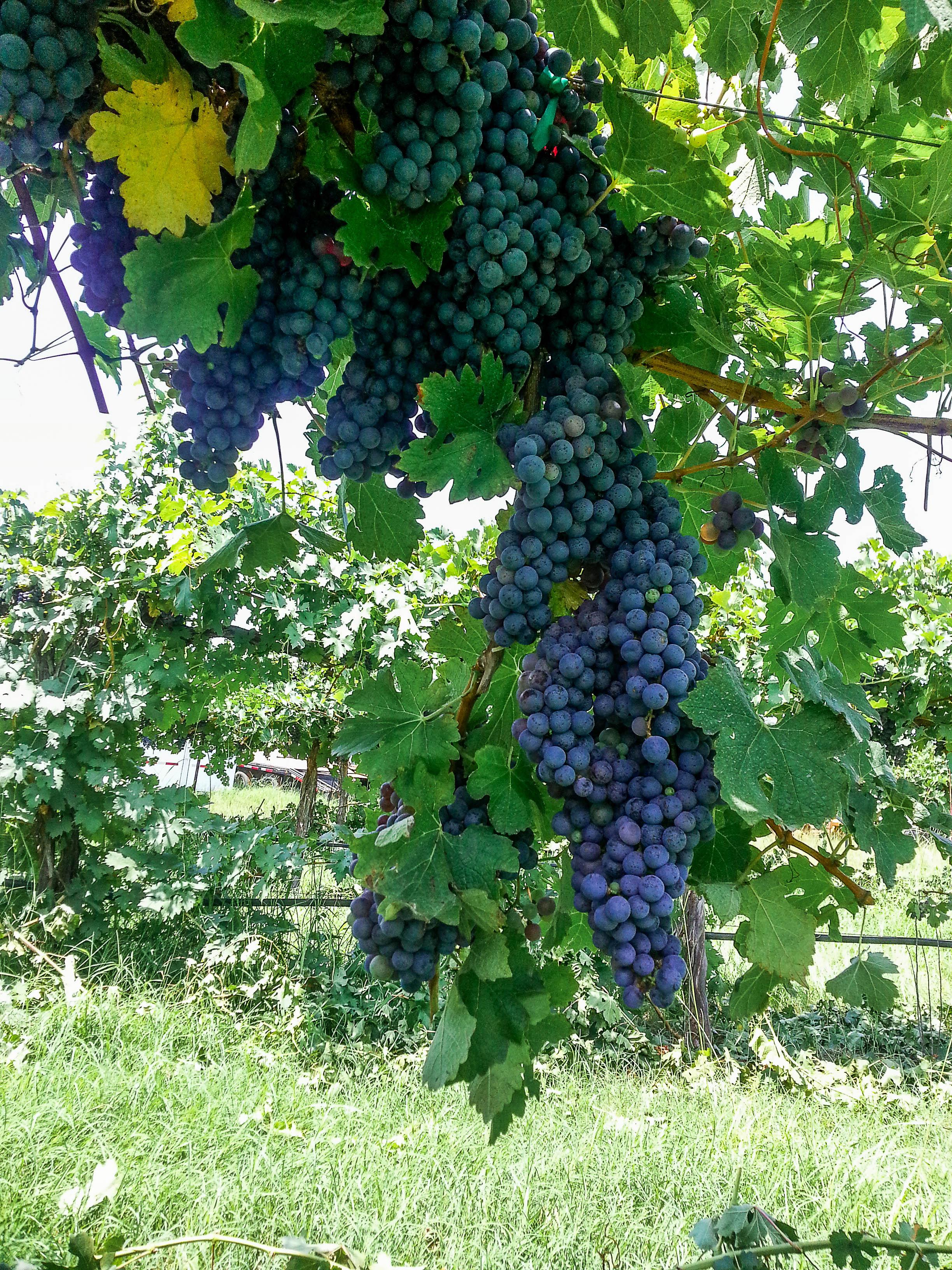 blog_vine_red_fruit.jpg