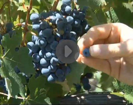 blog_wine_kltv_harvest.jpg