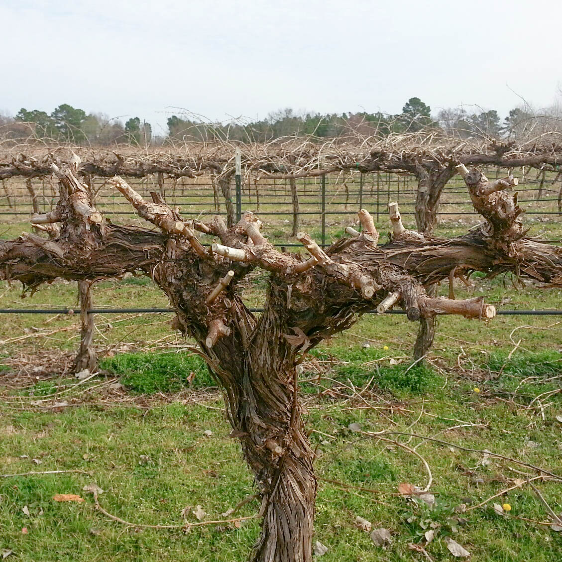 After pruning