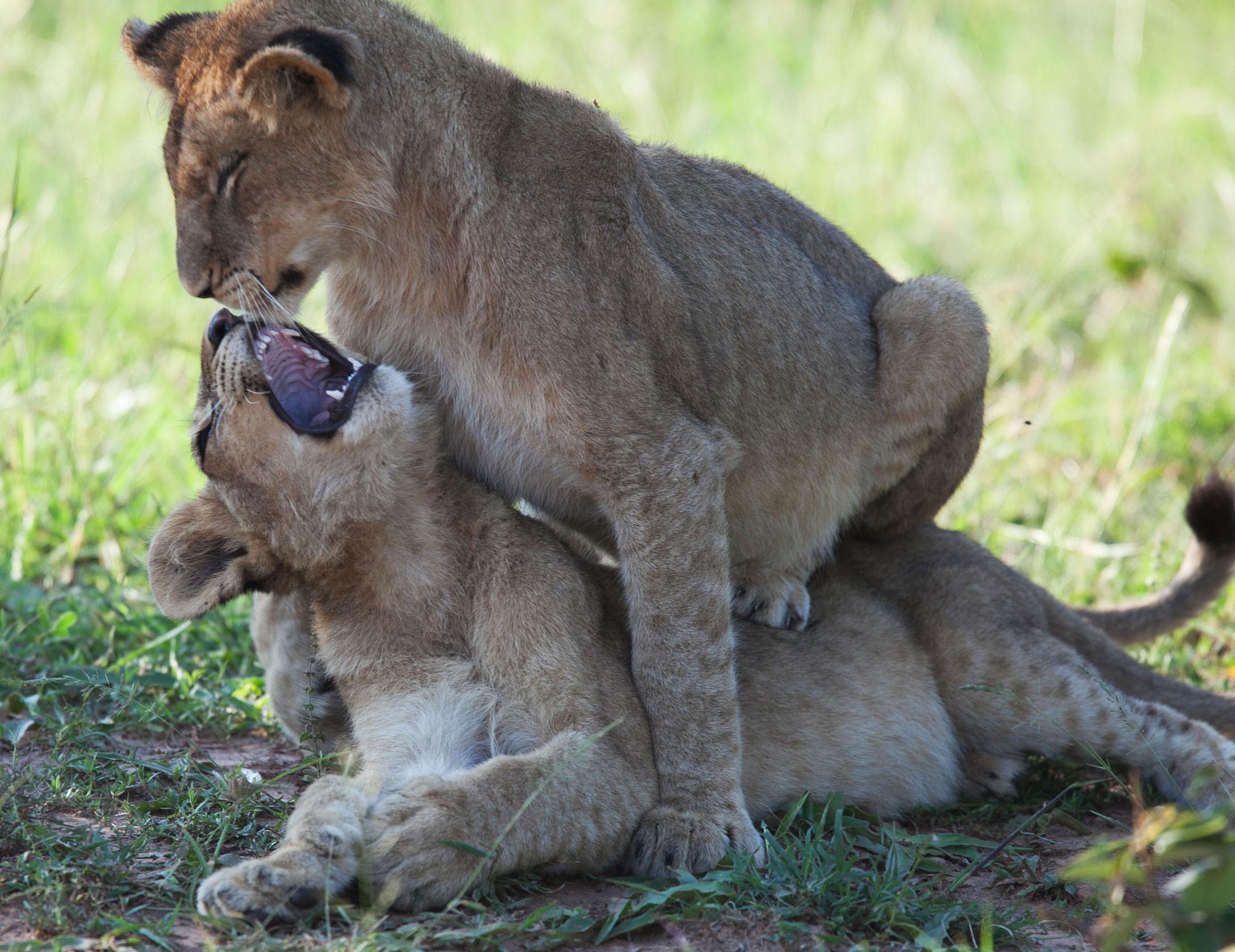 lion_babes_IMG_0238.jpg