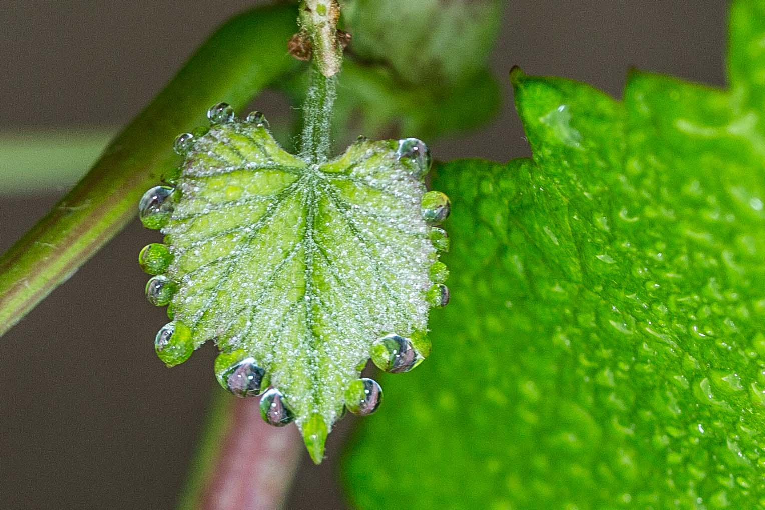 dew_on_new_leaf_kiepersol.jpg