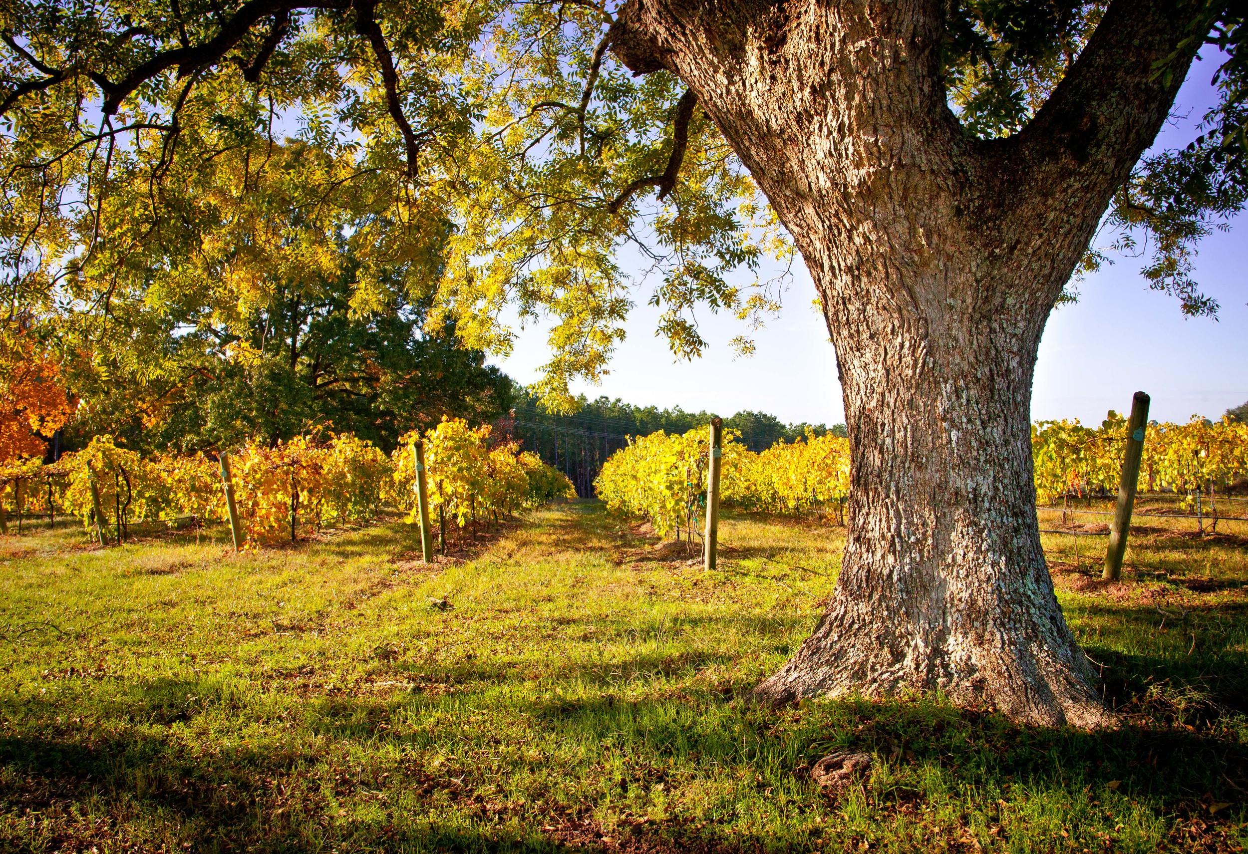 fall_vineyard_at_kiepersol_gate.jpg