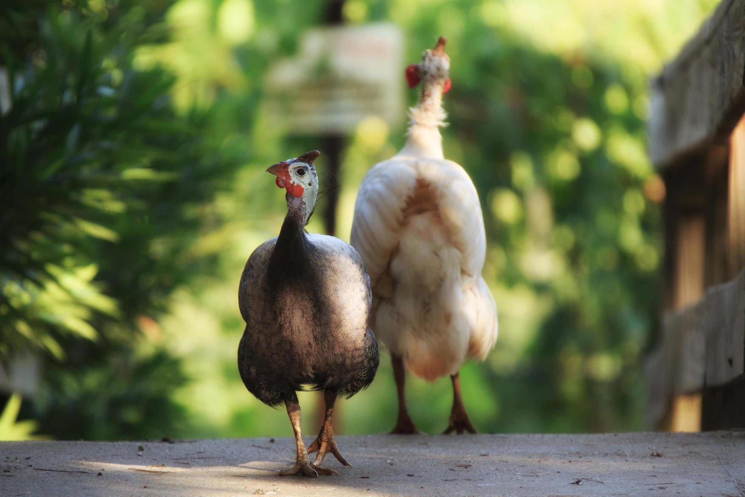 guineas_at_kiepersol.jpg