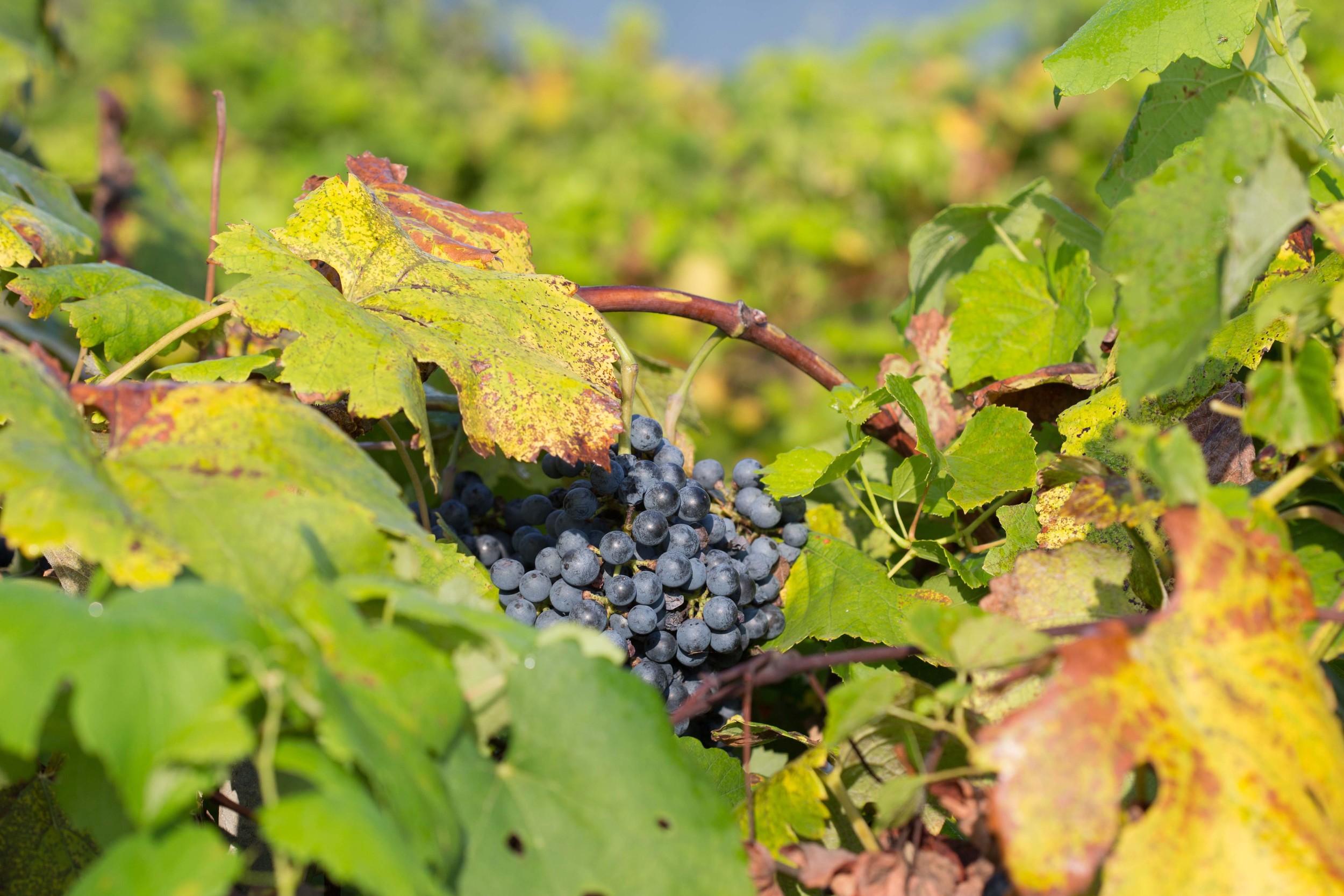 hidden_grapes_kiepersol.jpg