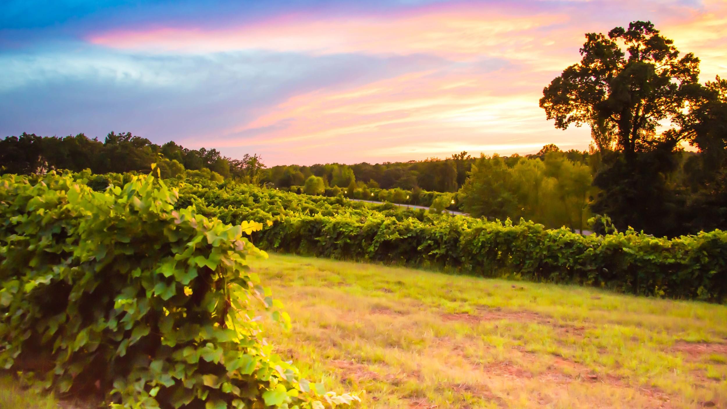 kiepersol_vineyard_sunset.jpg