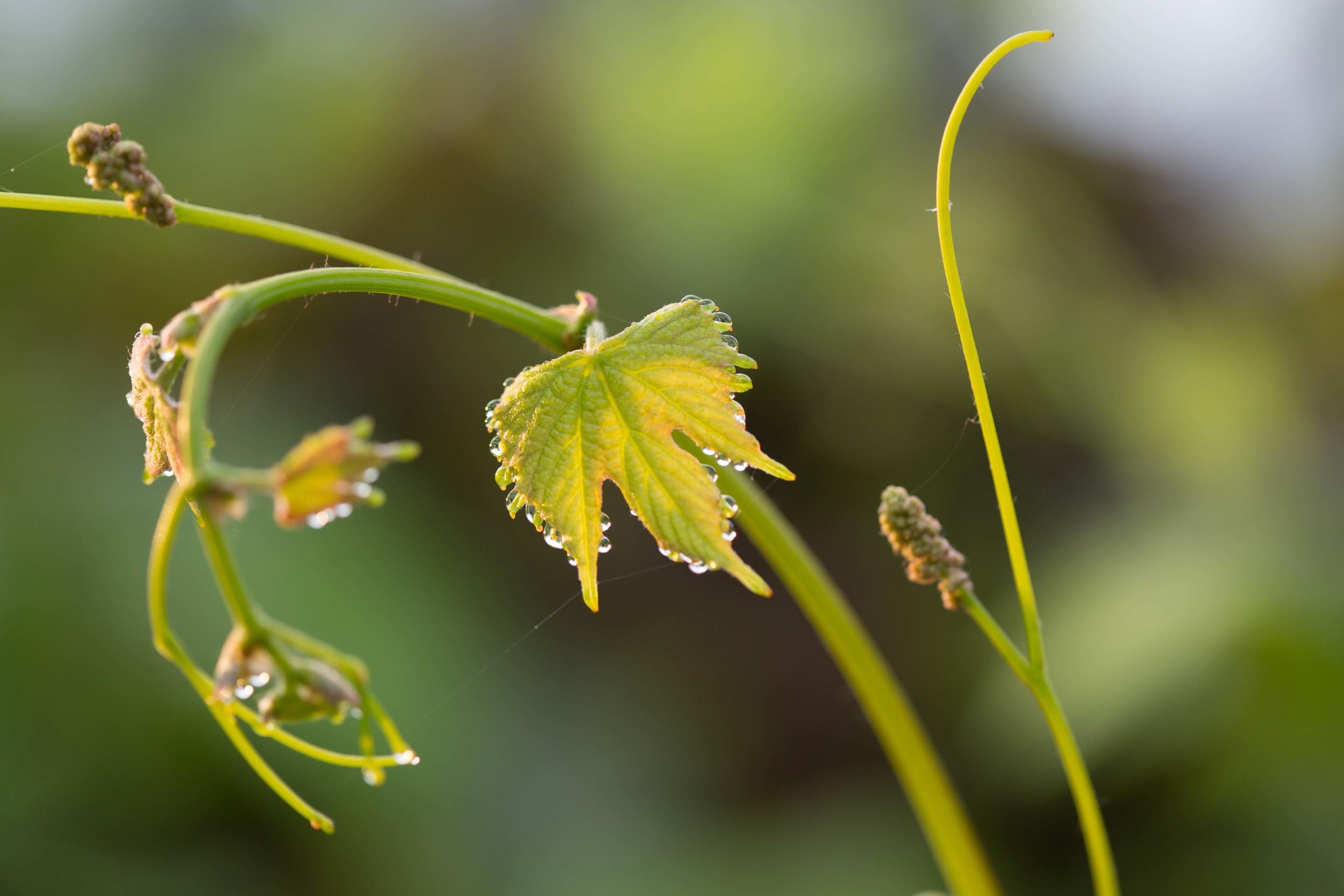 new_growth_on_vines_kiepersol.jpg