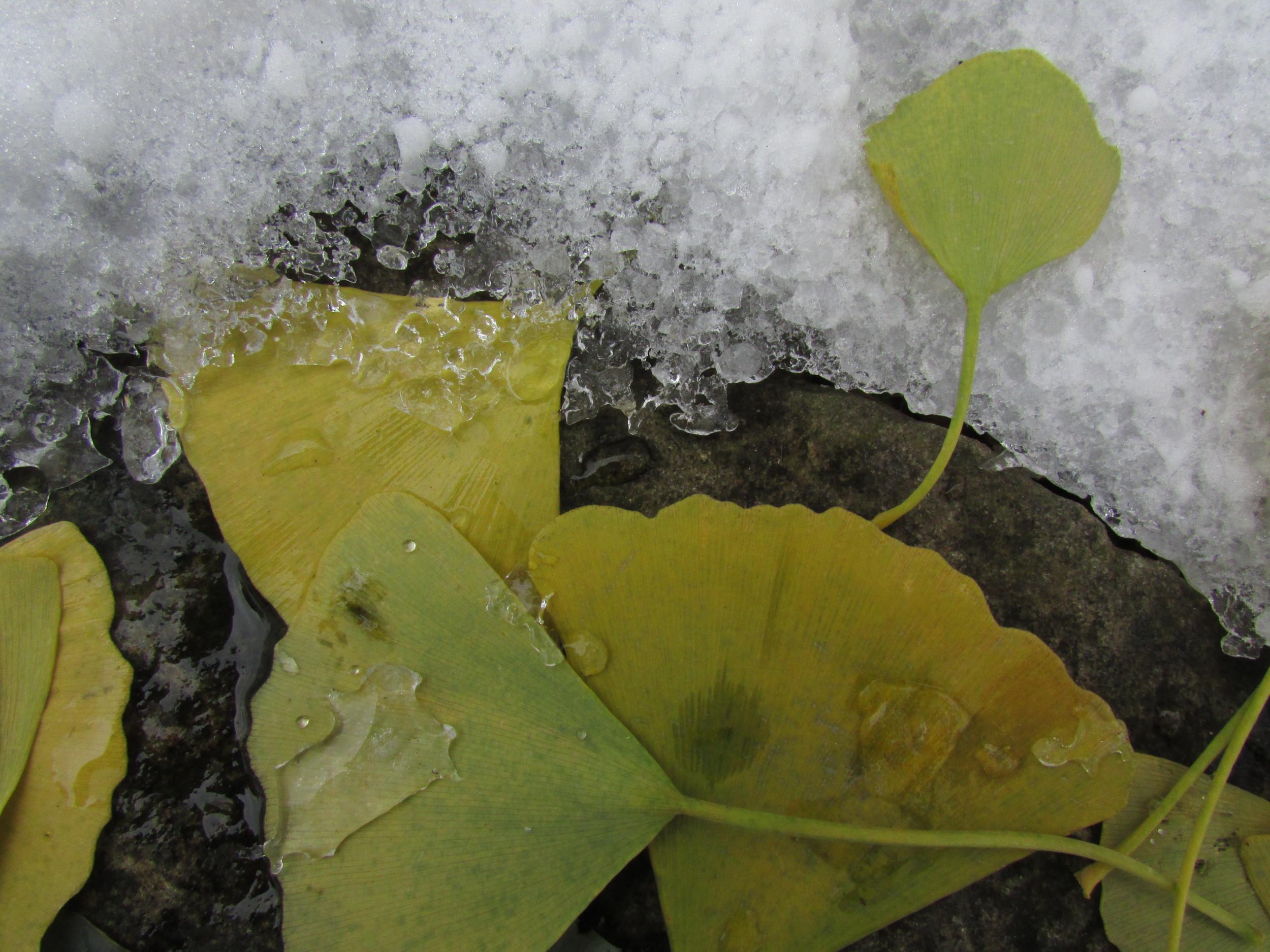 Leaf snow 1.jpg