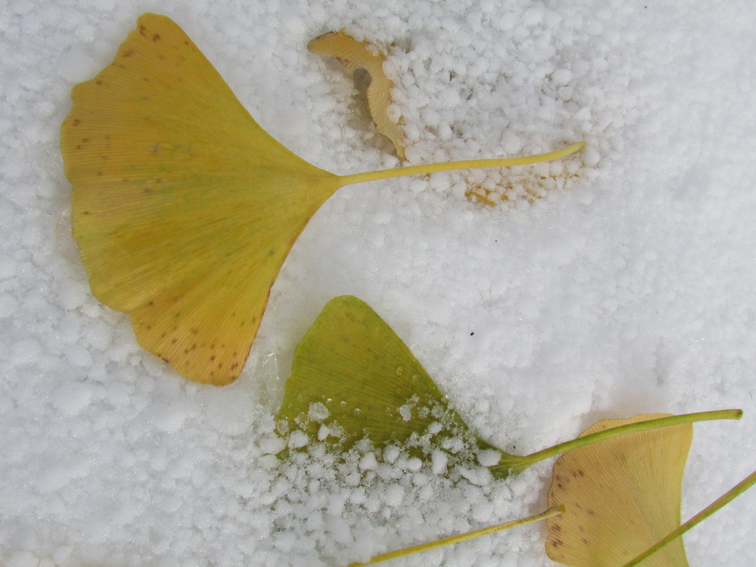 Leaf snow 3.JPG