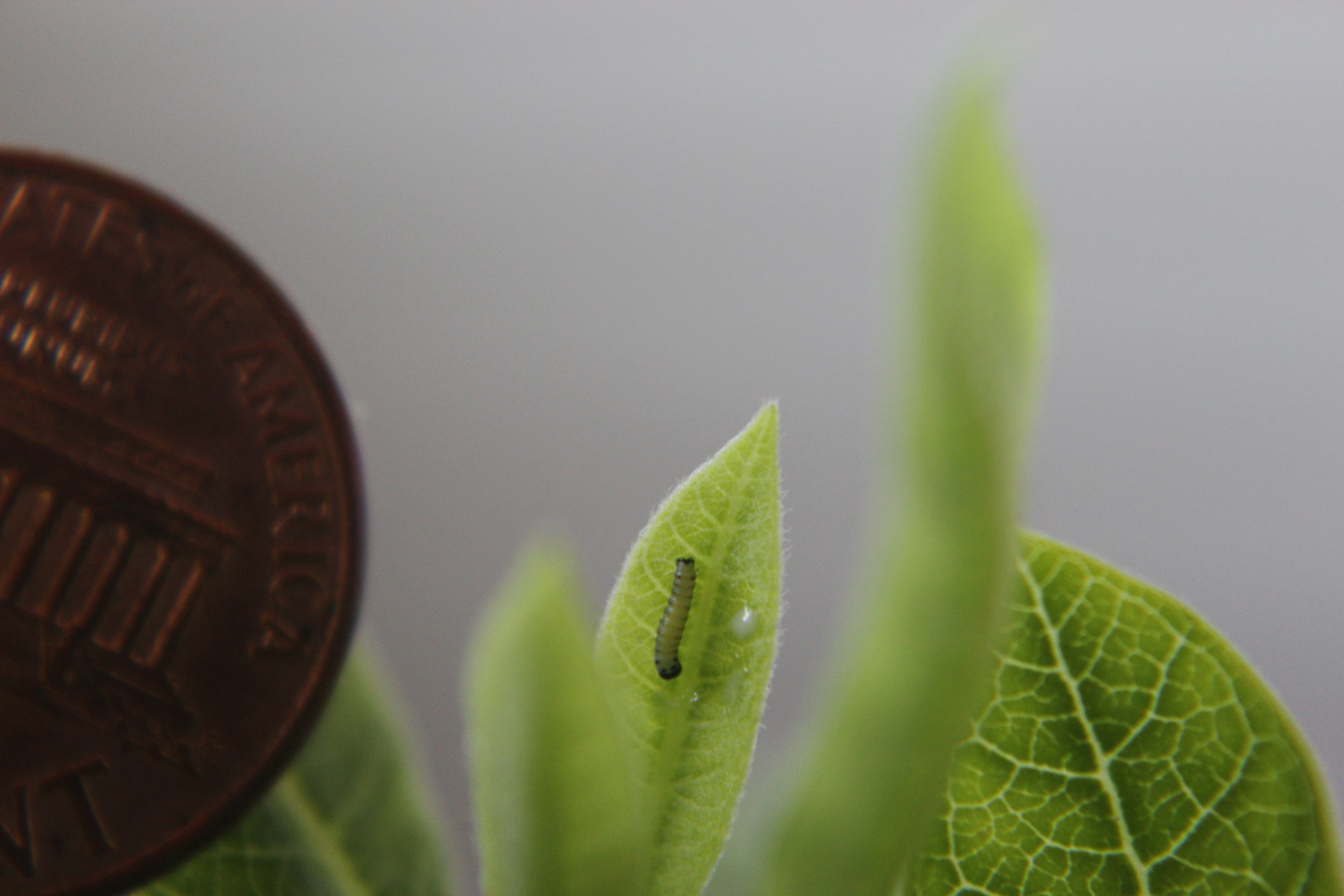 First instar caterpillar and US currency of least value