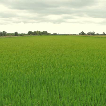 grow-rice.jpg