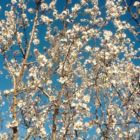 grow-almonds.jpg