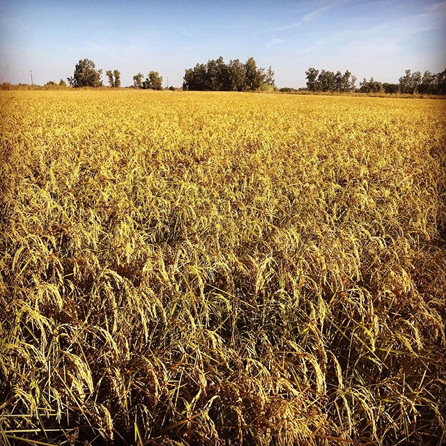 We need a couple more weeks of warm weather to ripen up this beautiful crop of organic rice before we can harvest it.