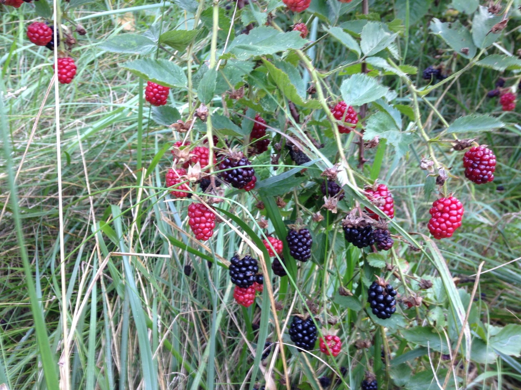 blackberry vines.JPG