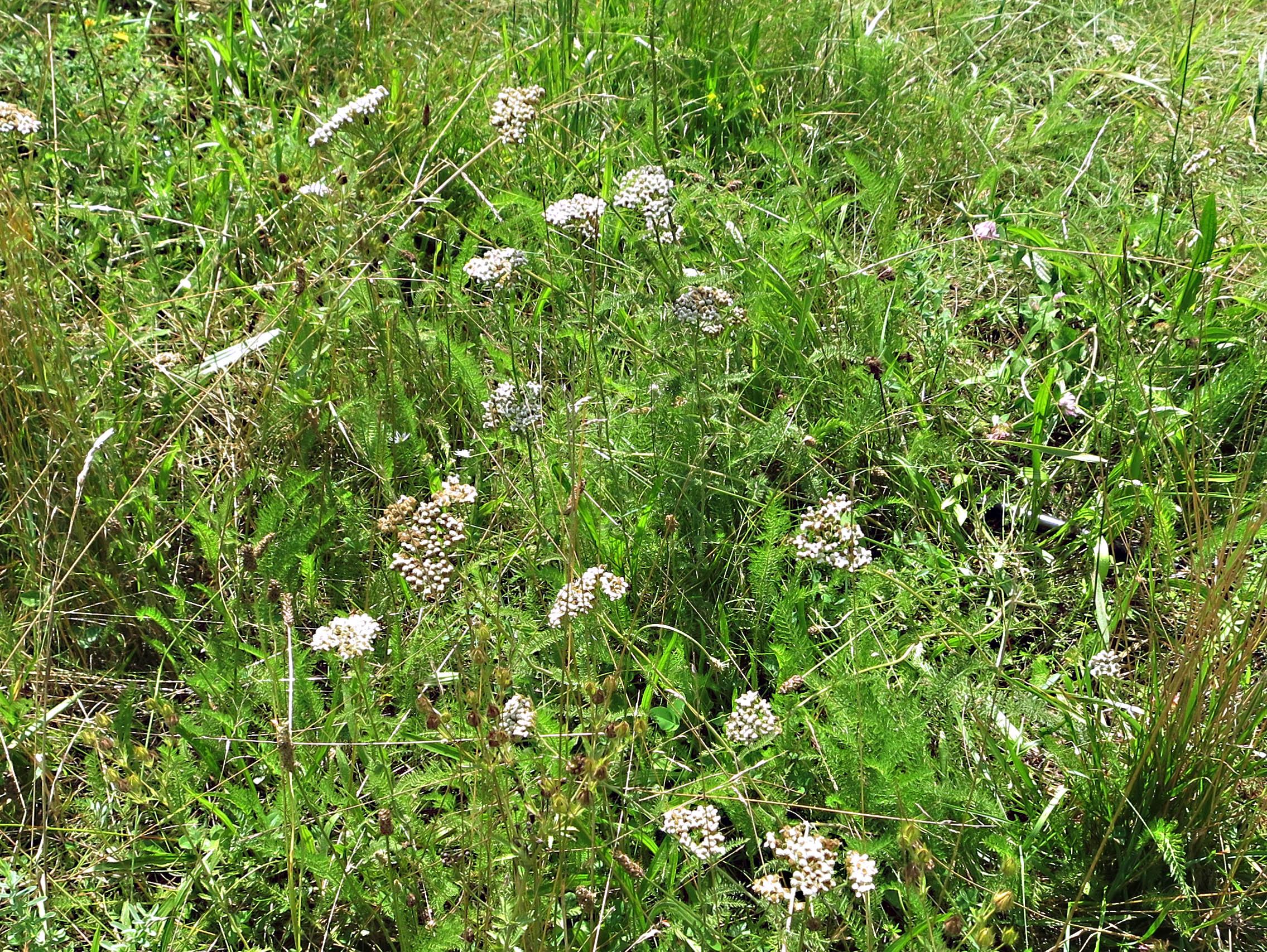 yarrow, Achillea millefolium, Asteraceae