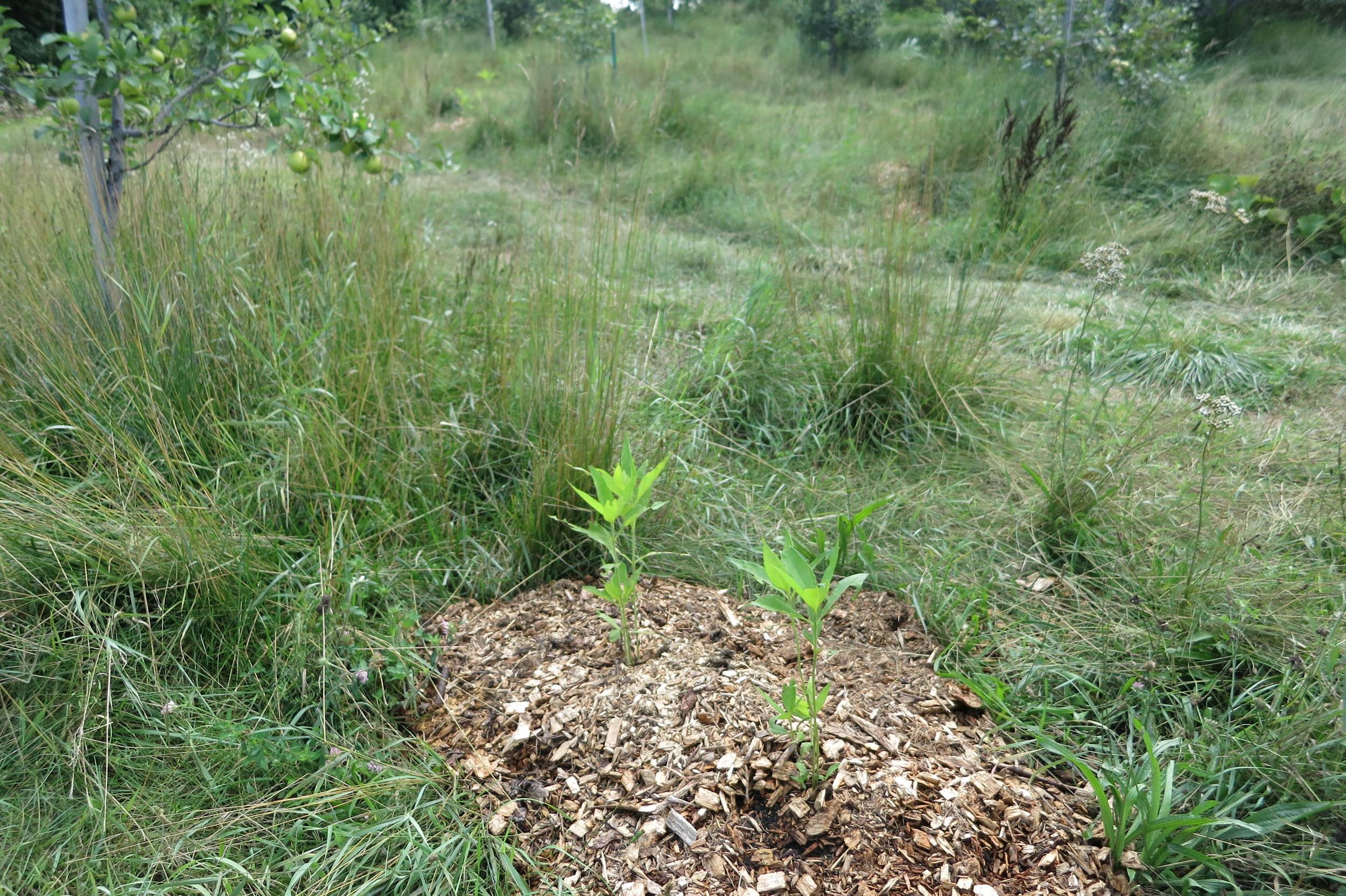 Jerusalem artichoke or sunchoke, Helianthus tuberosus, Asteraceae
