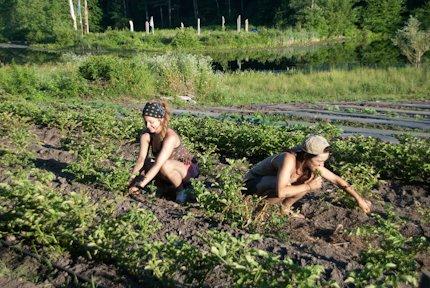 Farm friends digging potatoes!