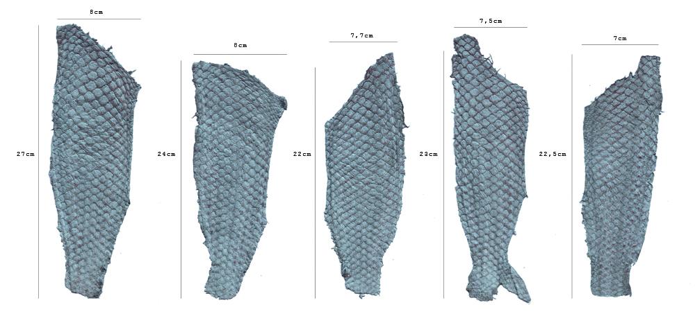 Couro de tilápia: variação possível de tamanho e formatosdentro do mesmo pedido (2015).