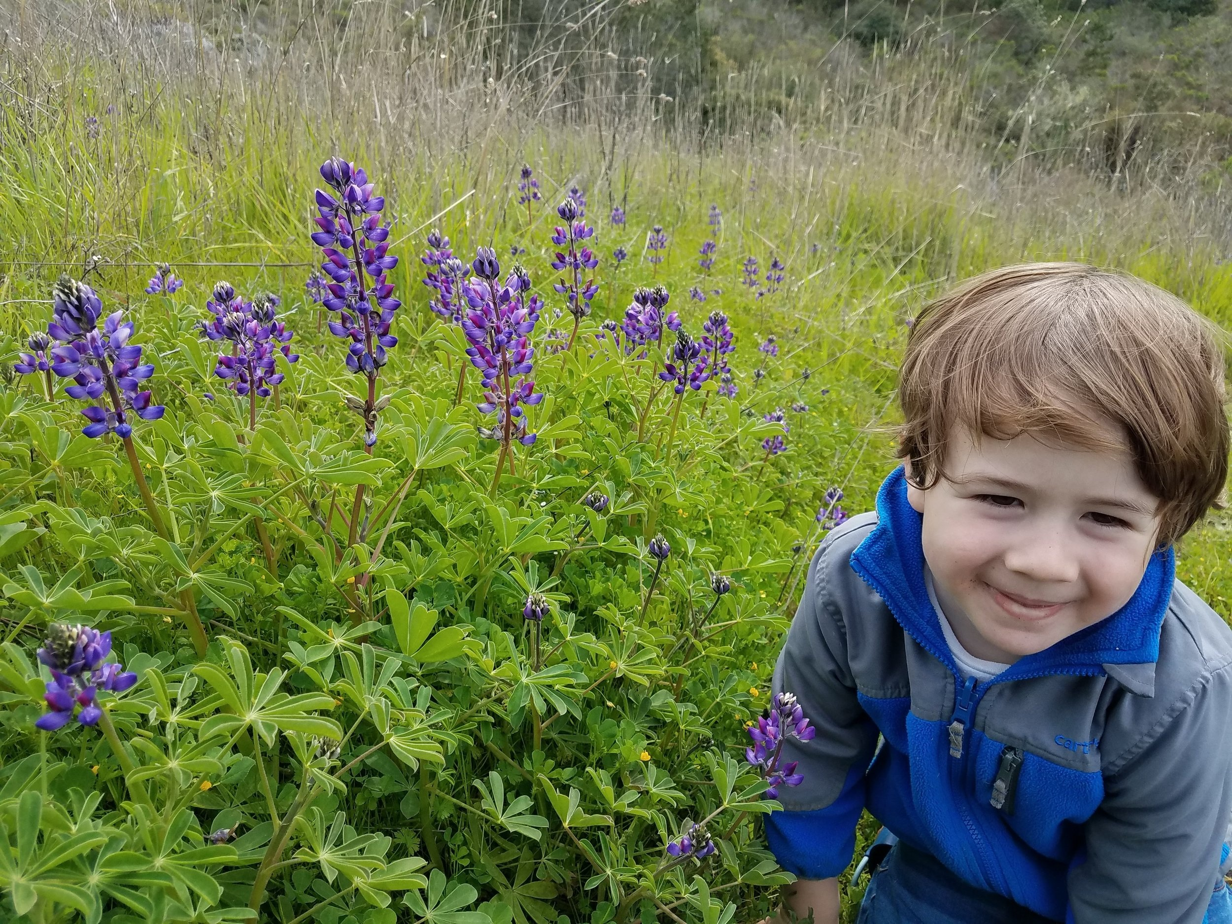 Lupine along San Simeon Creek, 2019