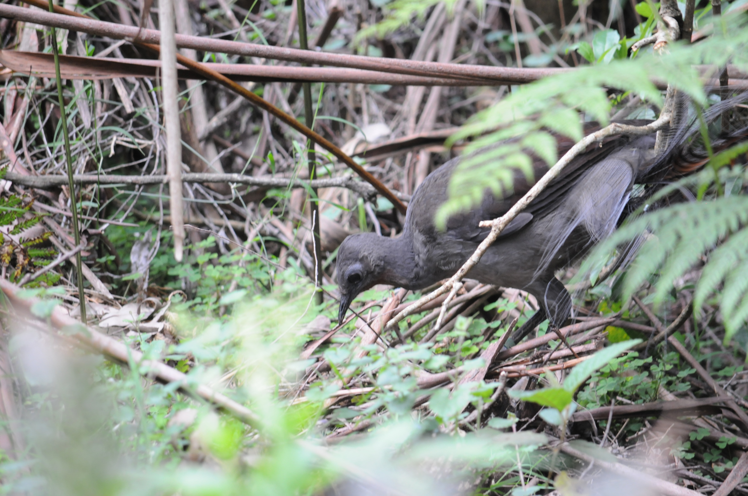 Lyrebirds scratch amongst the leaf litter in search of tasty invertebrates.