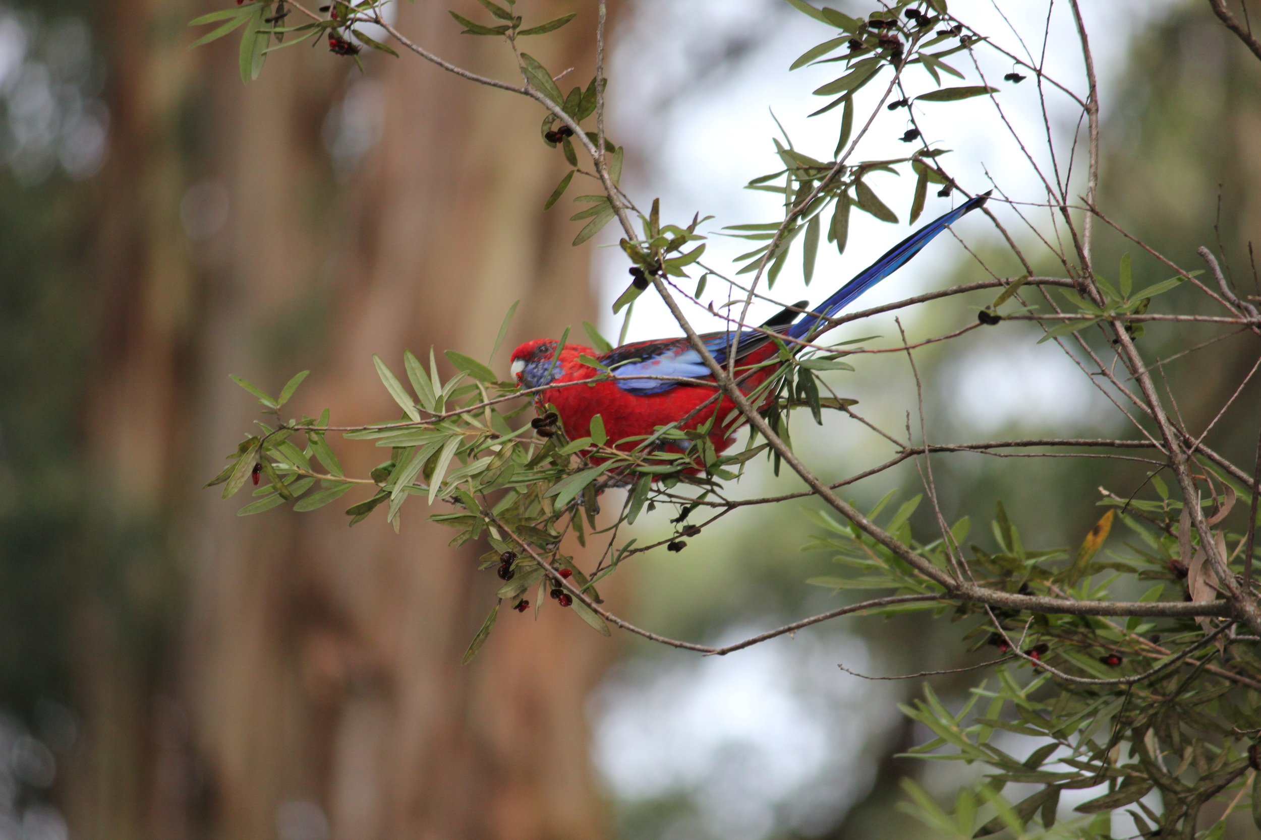 Crimson Rosellas are common in the forests of Victoria. While juveniles have mostly green plumage, they become brilliantly red as adults like the individual seen here.