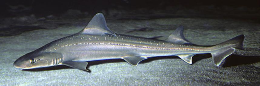 The slender gummy shark is often seen both exploring and resting along the sandy ocean floor.