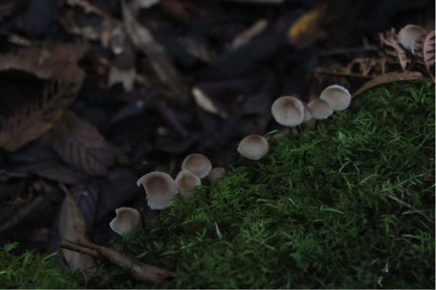 Found on decaying eucalypt logs, the species  Mycena atrata  grows in clusters and is of a greyish-brown colour.