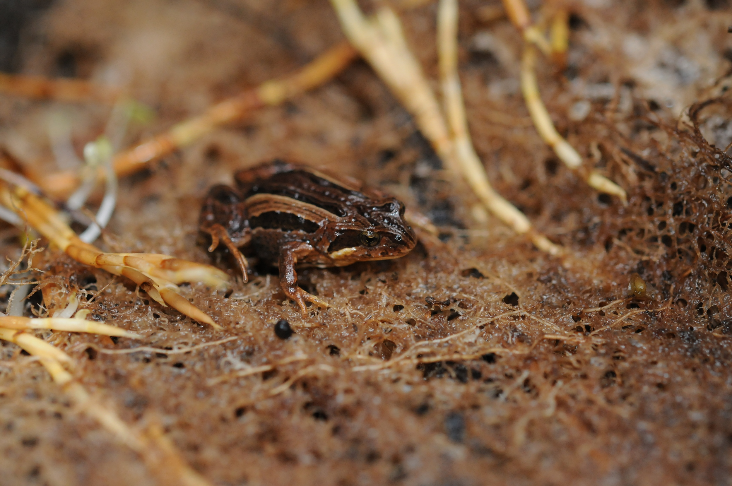 Common Eastern Froglets ( Cr inia signifera   )   produce some of the few sounds heard on the mountain top.