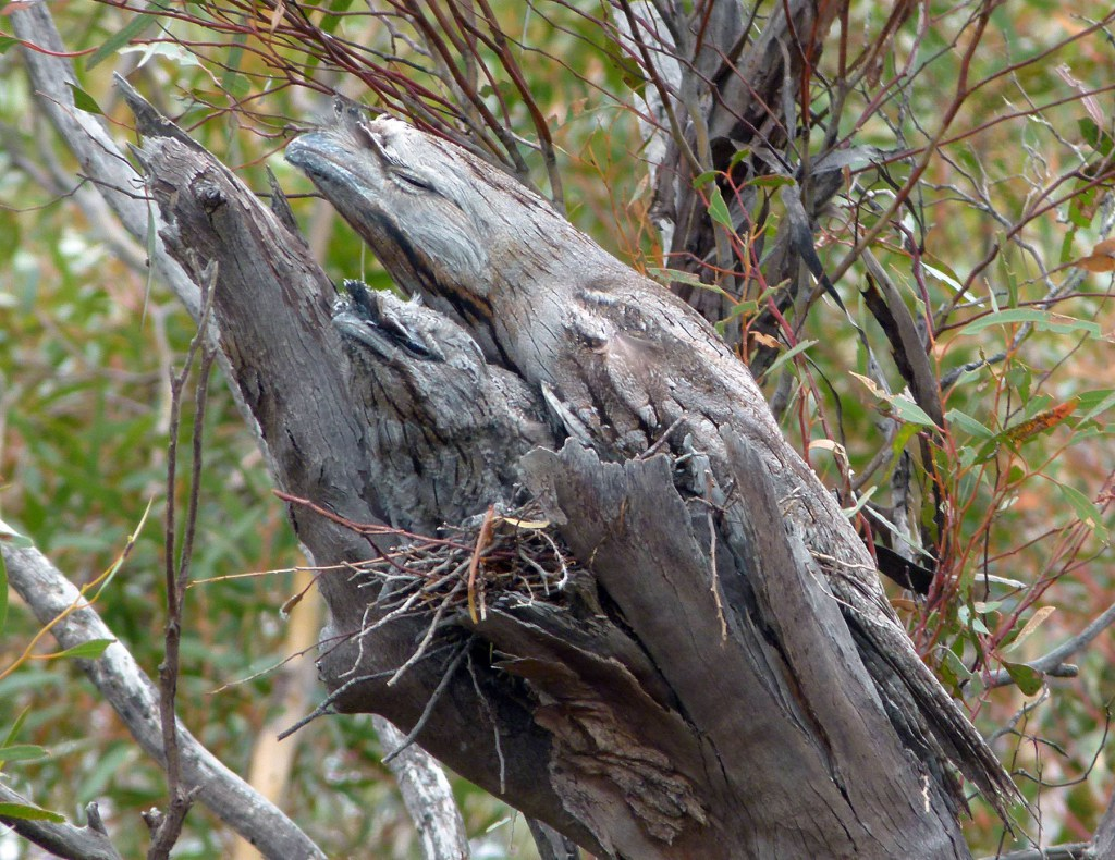 A Tawny Frogmouth and its chick resting during the day.  Photo: Wayne Longmore, Parks Australia