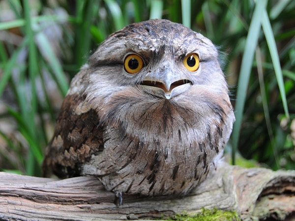 Being nocturnal, Tawny Frogmouths require large eyes that are able to intercept as much light as possible in dark conditions, such as those that develop after sunset.   Photo: Australia Zoo