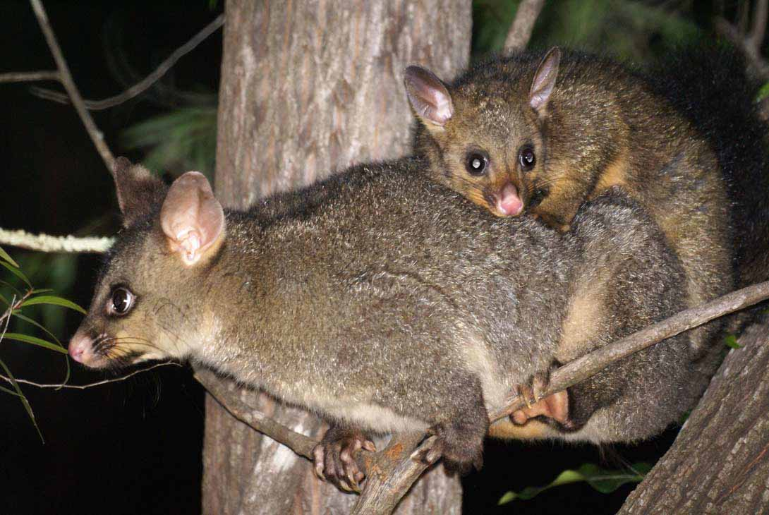 Brushtail Possums have pointed ears, have an unmistakeable bushy tail, and are larger than Ringtail Possums. Photo: David Cook