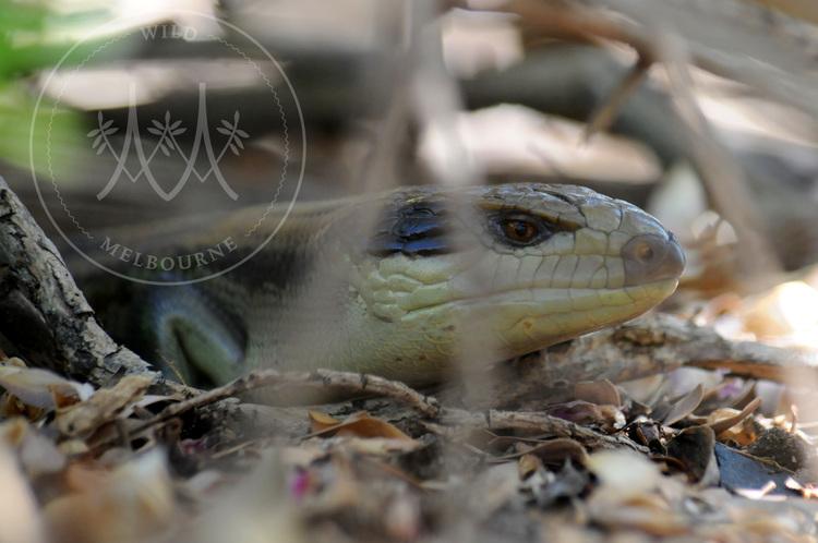 An Eastern Blue-Tongue Lizard rests amongst leaf litter.
