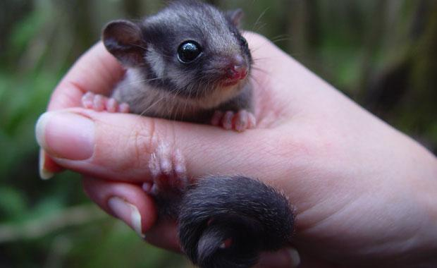 The Leadbeater's Possum ( Gymnobelideus leadbeateri ): Curtesy of zoo.org.au