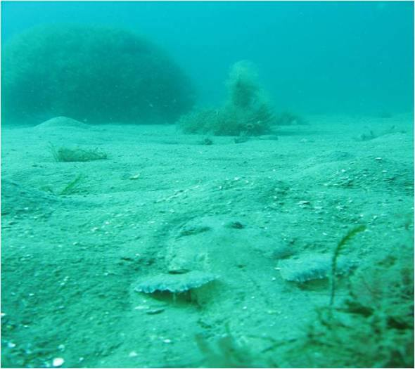 A Flathead buried in the sand at one of the artificial reefs.